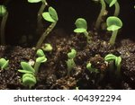 sprouted sprouts in the spring... | Shutterstock . vector #404392294