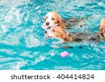 cute beagle dog swimming in the ... | Shutterstock . vector #404414824