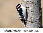 Male Downy Woodpecker On Tree...