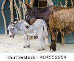 Poitou Donkey Leaning Against...