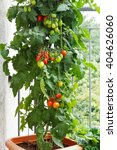 Tomato Plant With Green And Red ...