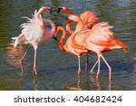 Small photo of Flamingo squabble. A dispute has broken out within a group of beautiful flamingos.