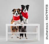 Small photo of Two border collie abut paws on the table