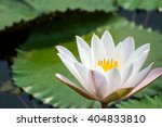 white and pink flower lotus and ... | Shutterstock . vector #404833810