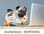 Stock photo thoughtful pug dog with man hands in sweater using laptop and cell phone over grey background 404976406