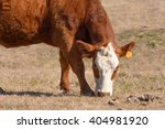 Hereford Cow Grazing With Head...