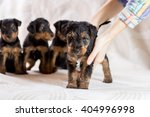 Small photo of Portrait Airedale puppies group