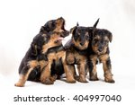 Small photo of Portrait Airedale puppies playing