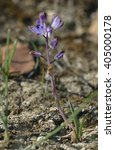 Small photo of Autumn Squill - Scilla autumnalis Wild Flower from Cyprus
