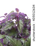 Small photo of Gynura Purple Passion