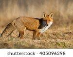 mammals   red fox  vulpes... | Shutterstock . vector #405096298