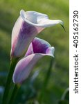 Calla Lily Flower In Pair At...