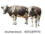 Two Brown Spotted Cow Isolated...