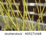 golden twig dogwood  cornus... | Shutterstock . vector #405271468