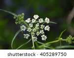 Water Hemlock Wildflower In...