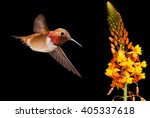 Rufous Hummingbird With Yellow...