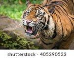 sumatran tiger gave warning... | Shutterstock . vector #405390523
