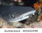 Juvenile White Tip Reef...