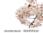 full bloom sakura flower... | Shutterstock . vector #405459310