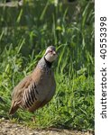 Small photo of Red-legged or French Partridge - Alectoris rufa