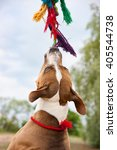 Small photo of American Pit Bull Terrier plays with a rag toy