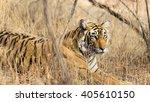 wild bengal tiger  panthera... | Shutterstock . vector #405610150