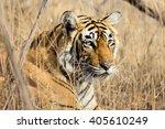 wild bengal tiger  panthera... | Shutterstock . vector #405610249