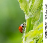 Small photo of Macro of ladybug (Adalia bipunctata) eating aphids