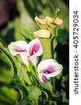 Cala Lily Flower Zatendechsia...