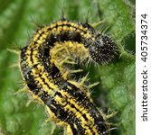 Small photo of Small tortoiseshell (Aglais urticae) caterpillar. Mature yellow and black spiny larva of butterfly in the family Nymphalidae