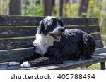 Portuguese Water Dog On A Benc...