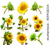 sunflowers collection on the... | Shutterstock . vector #405918214
