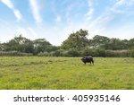 buffalo in the field   Shutterstock . vector #405935146