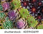 Different Colored Succulents...