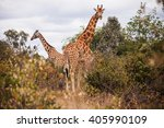 giraffes in the afew giraffe... | Shutterstock . vector #405990109