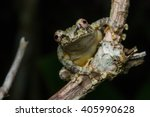 Green Tree Frog On A Flower...