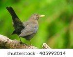 Female Blackbird Perching On A...