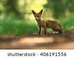 Fox Was Photographed In The...