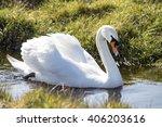 beautiful white swan in water... | Shutterstock . vector #406203616