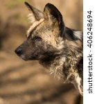 Small photo of African Wild Dog portrait side