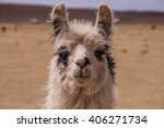 Portrait Of An Alpaca. A Cloe...