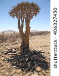 Small photo of Quiver tree (Aloe dichotoma) view somewhere in Damaraland, Namibia.