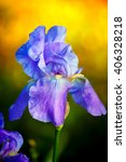 A Purple Iris Blooms In The...