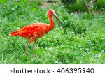 scarlet ibis  eudocimus ruber   ... | Shutterstock . vector #406395940