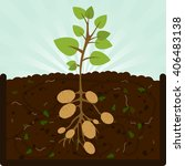 planting potatoes. composting... | Shutterstock .eps vector #406483138