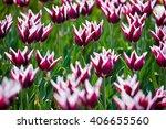 fresh pink  white tulips in... | Shutterstock . vector #406655560