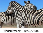 two zebras nuzzle against each... | Shutterstock . vector #406672888