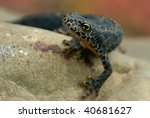 an amphibian with orange belly | Shutterstock . vector #40681627