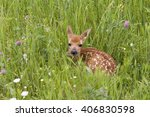 White Tailed Fawn Laying In...