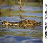 Nile Crocodile Portrait
